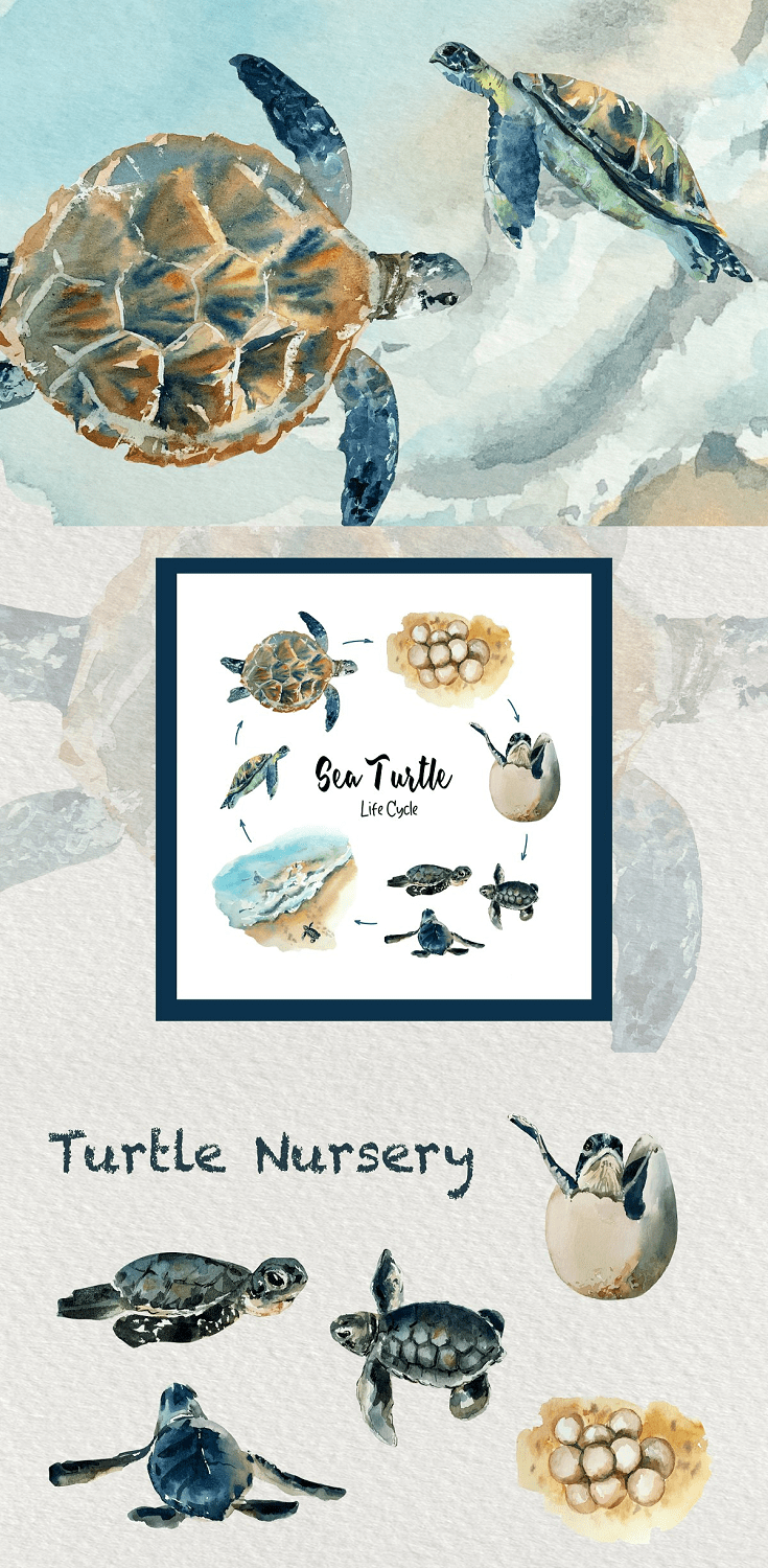 Sea Turtle Life Cycle Watercolor